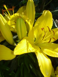 yellow_lillies
