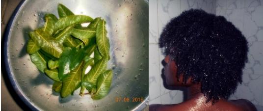 guava leave rinse